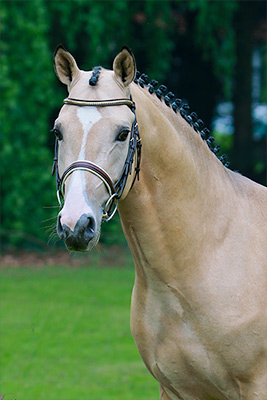 Dance for Me von FS Daddy Cool| Deutscher Reitpony Hengst | Hubert Hemmelgarn